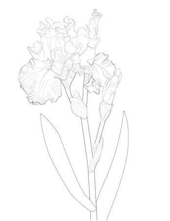 a sketch of a blooming iris Standard-Bild - 155501274