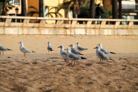 flock of seagulls on the beach. Wild seagulls with natural sand background.