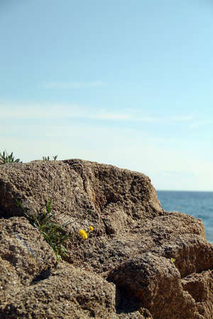 Beautiful small yellow flower grows on the rocks. Rocky coast on the sea with blue sky. Banque d'images