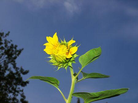 Beautiful yellow sunflower photo