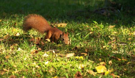 sneak: Red squirrel sneak in grass.