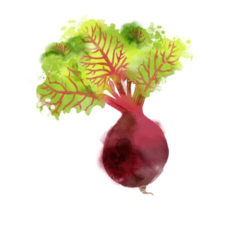 Watercolor vector illustration of beetroot