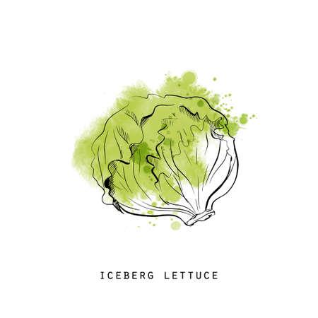 Watercolor sketch illustration of iceberg lettuce