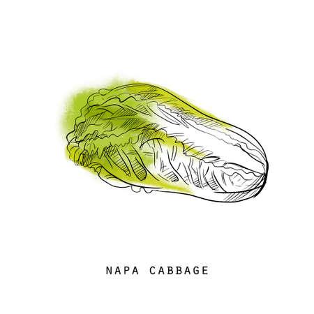Watercolor sketch illustration of cabbage Illustration