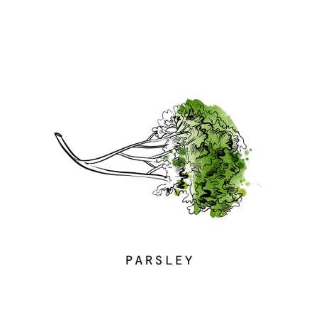 Watercolor sketch illustration of parsley Illustration