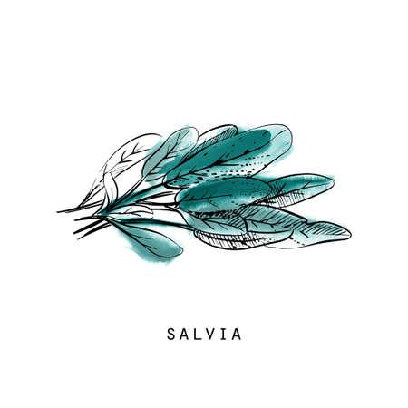 Watercolor sketch illustration of salvia Illustration