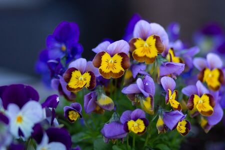 Purple and yellow viola on flowerbed