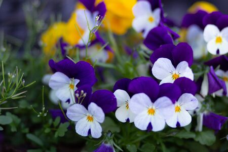 Blue and white Viola on flowerbed Stock Photo