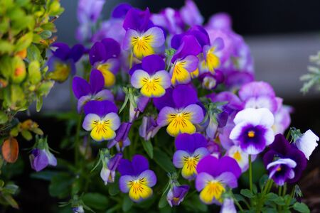 Blue and yellow viola on flowerbed in summer