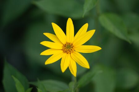 Woodland sunflower or Helianthus divaricatus in the flower bed Imagens