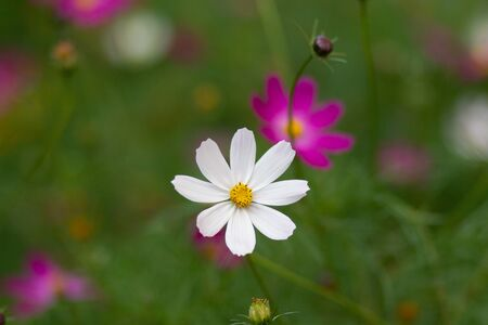 Cosmos bipinnatus or garden cosmos or Mexican aster in the flower bed