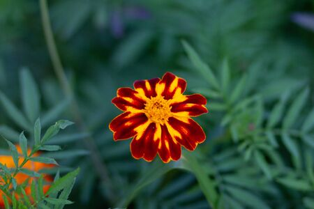 French marigold or Tagetes patula in the flower bed Imagens