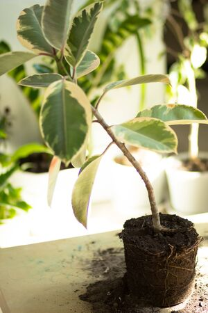 Root of ficus on the table before repotting Stok Fotoğraf - 132120723
