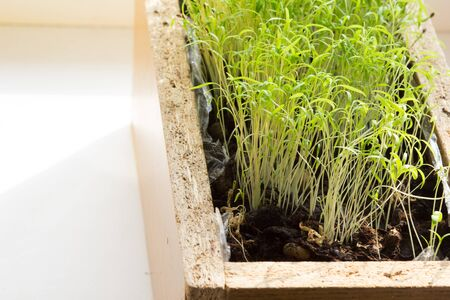 Many prouts of dill in wooden box Stock Photo