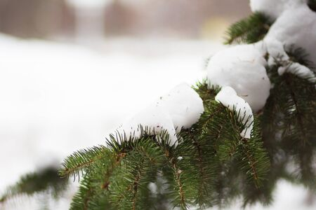 Branch spruce covered by snow in the snowy park Stock Photo