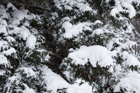 Spruce branches covered by snow in the snowy park