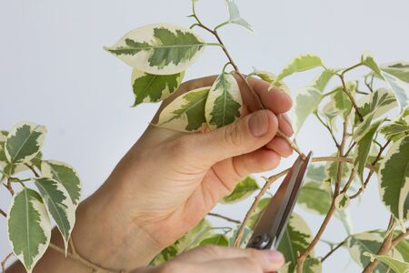 Woman hand holding branch of ficus benjamina to cut it by scissor to make stalk to plant it