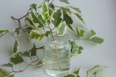 Branch of ficus benjamina in jar with water after cutting it to make stalk to root it and plant Reklamní fotografie