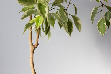 Ficus stem with branch which need to cut or to produce offshoot on trunk to make root on the white background Stock fotó