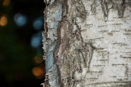 bark peeling from tree: Closeup of a birch trunk with blurred lights on the background. Stock Photo
