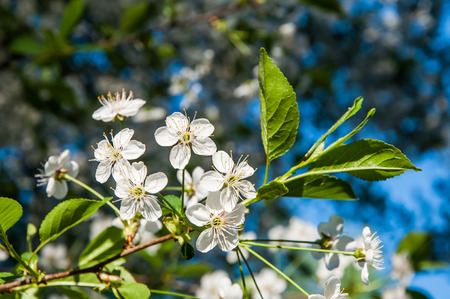 sky brunch: A branch of cherry tree with green leaves and white flowers on the background of blue sky.
