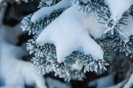 The evergreen plant branch under the snow and with hoar on the needles. Photo made in Russia Stock Photo