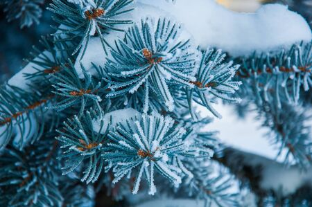 made russia: The evergreen plant branch under the snow and with hoar on the needles. Photo made in Russia Stock Photo
