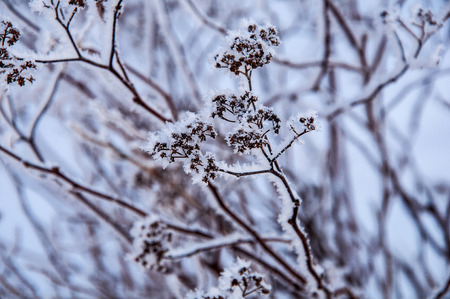 The bush with dry seeds under the snow and with hoar on the branches. Photo made in Russia