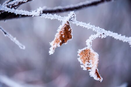 The birch plant branch under the snow and with hoar. Photo made in Russia