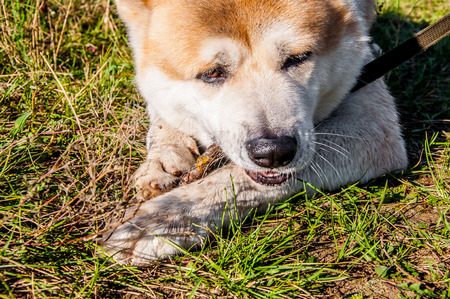 Eating something and keeping it in pads adult male of japanese akita inu