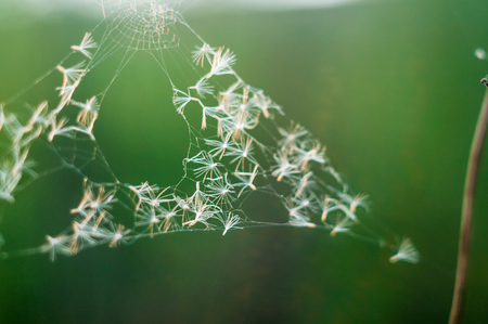 holed: Holed spider webs with dandellion seeds without spider on green background