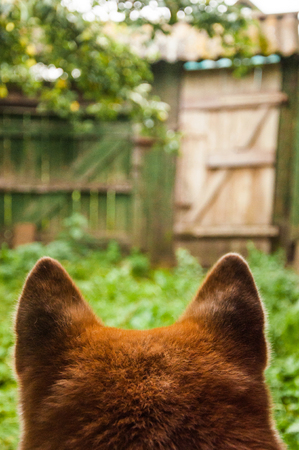 Waiting for a host adult male akita inu dog. View from the back