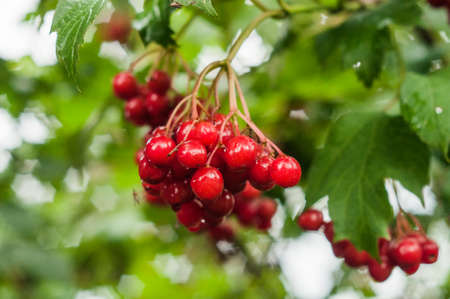 A closeup of a branch of a red arrowwood berries with flecks