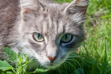 Grey tabby cat face on the green fresh lawn. Closeup