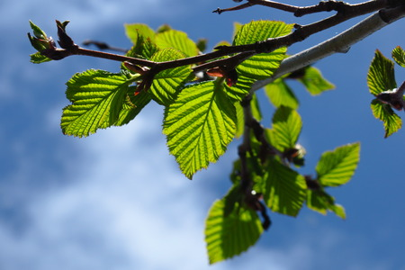 Green birch buds and leaves isolated on sky background 스톡 콘텐츠