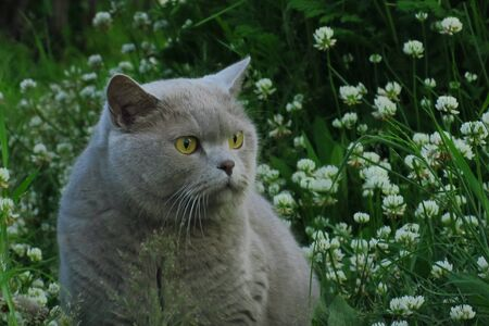 British shorthair cat hunting on the grass in the garden
