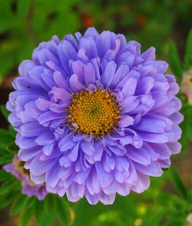 Colorful chrysanthemum flower macro shot. Chrysanthemum rainbow flower