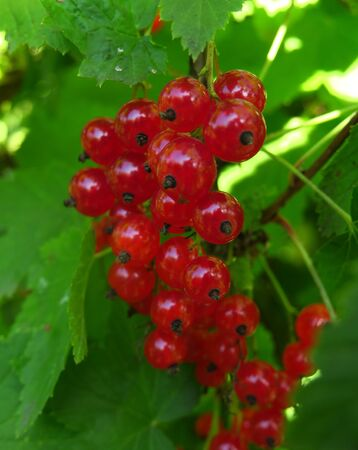 the branch bush berries are ripe redcurrant Ribes rubrum