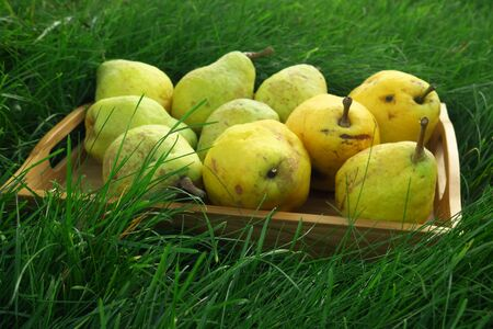 the harvest of the pears in wooden box on green grass, autumn harvest, october garden