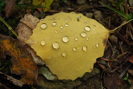 Dew droplets on yellow leaf in autumn forest, macro photo of some drops