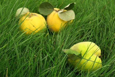 A lot of apple quince, preparing for pie on grass background. Standard-Bild