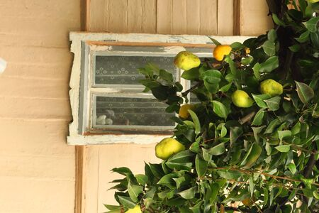 Some green pears with leafs on the branch near granny s house, the harvest of large pears near window
