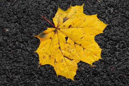 colorful autumn maple leaf isolated on black asphalt, yellow big leaf