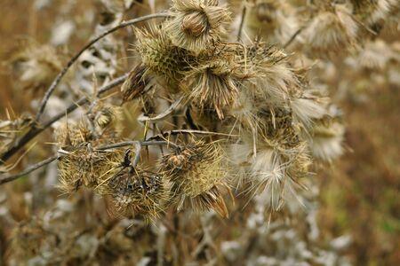 Dry burdock flowers in late autumn close up photo, dry flower of burdock Stockfoto