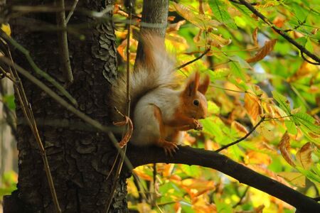 Squirrel sits on the tree in an autumn park and waits for a nut, red squirrel