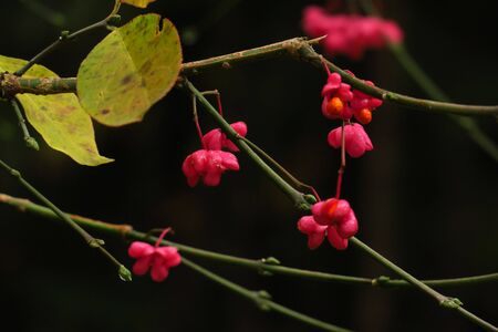 Bright unique pink flowers with fruits of Euonymus europaeus, known variously as winged spindle (Euonymus Species, Common Spindle Bush, European Spindle Tree) . Beautiful bright autumn vegetation.