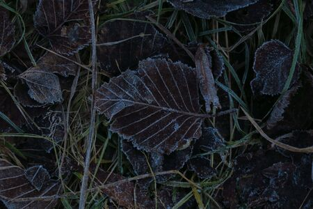 Frosted grass and leaves covered with rime. Winter background with copy space.