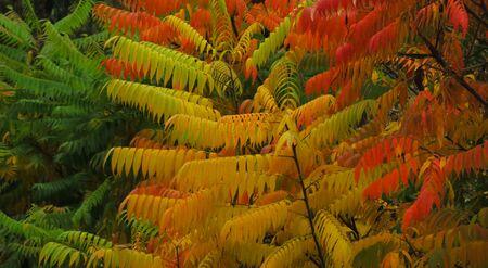 Branches of red, yellow and green fall acacia leaves closeup. Acacia foliage closeup. Colorful acacia