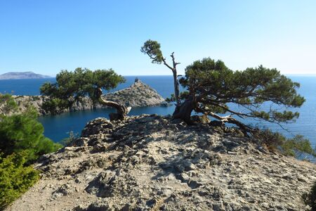 Amazing pine tree growing out of the rock near seacoast. Colorful landscape with old tree with green leaves, blue sea, mountains and sky with sun in the evening. Summer travel in Crimea.