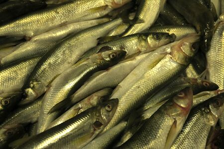 Background with fresh fish horizontally Close up. Trade is fresher the cooled fish. Pisces. Animalia. Stok Fotoğraf